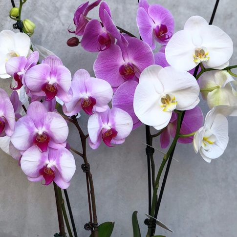 Phalaenopsis Orchid Gift Plant